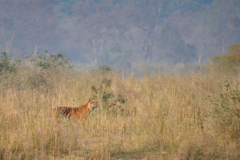 Paar-Male-Tiger-Dhikala-Corbett1.jpg