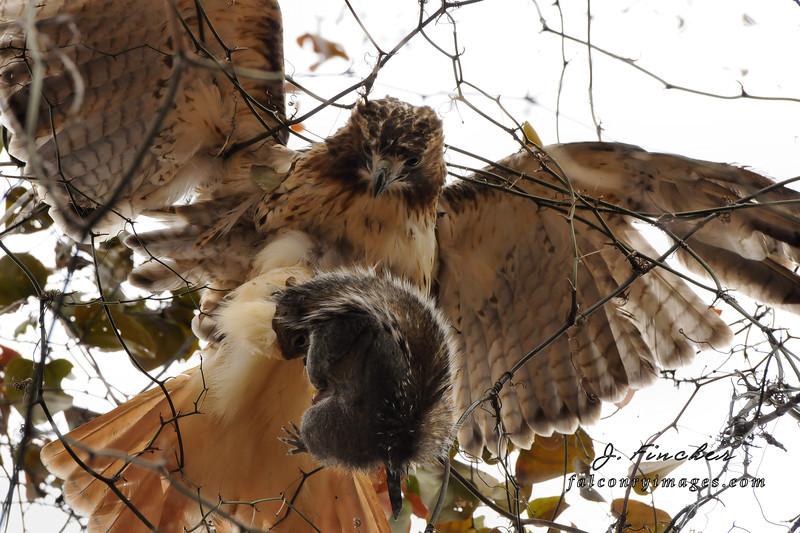 redtail hawk catching squirrel.JPG