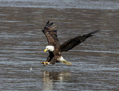 Bald Eagles of Conowingo Dam