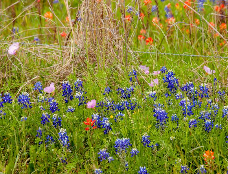 2016_4_9 Texas Wildflower Shoot-8519.jpg