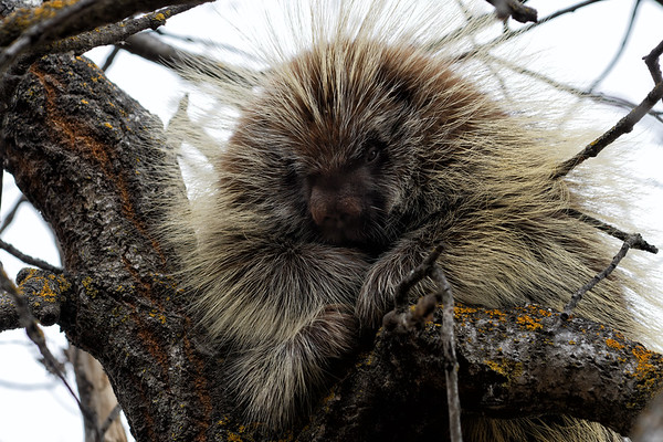 Porcupines and Racoons