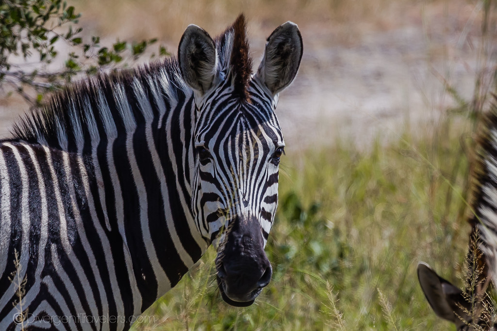 Best Safari in Africa - Kenya Zebra