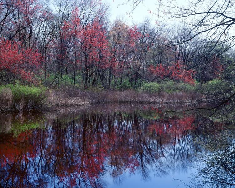 Maple Trees In Flower, Sudbury River