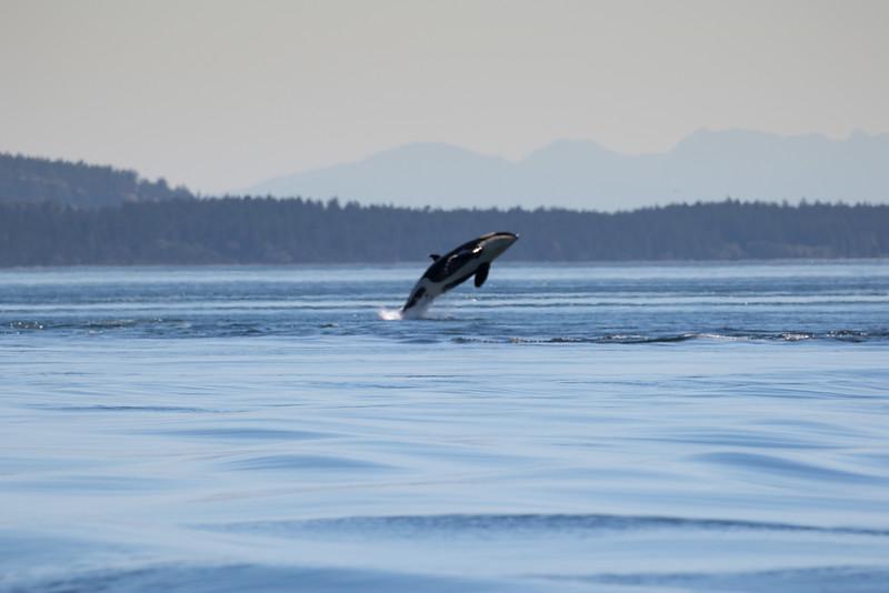 Orcas -  073115-112.jpg