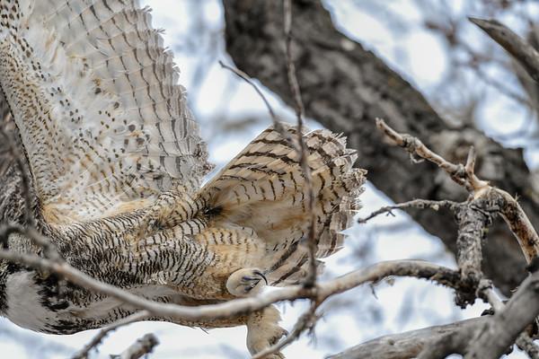 4-19-18 Great Horned Owl - Adult Antics