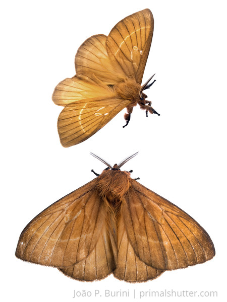 Rare hemileucinae moth (Dirphia monticola) Atlantic forest (rock outcrop vegetation) Itatiaia National Park, Itamonte MG, Brazil March 2018