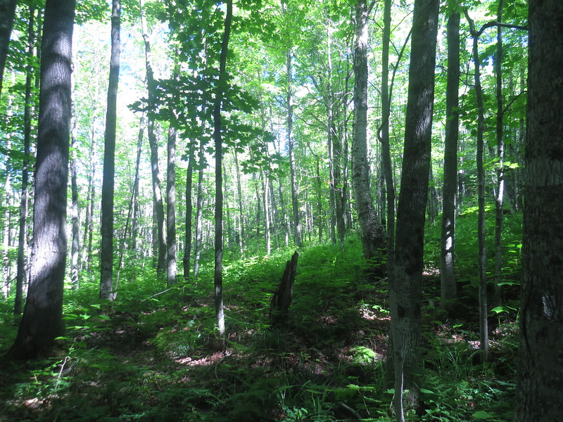 Beautiful logged area next to the trail.JPG