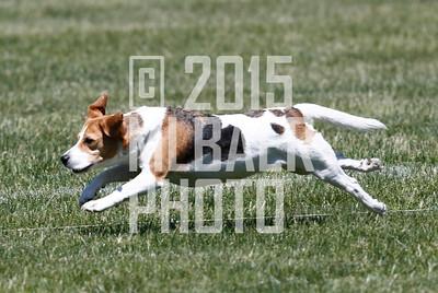 Beagle-Lola