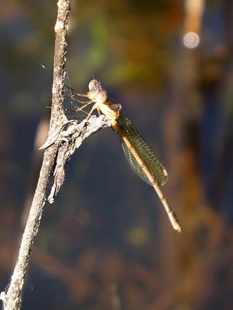 Southern Spreadwing, Lestes australis