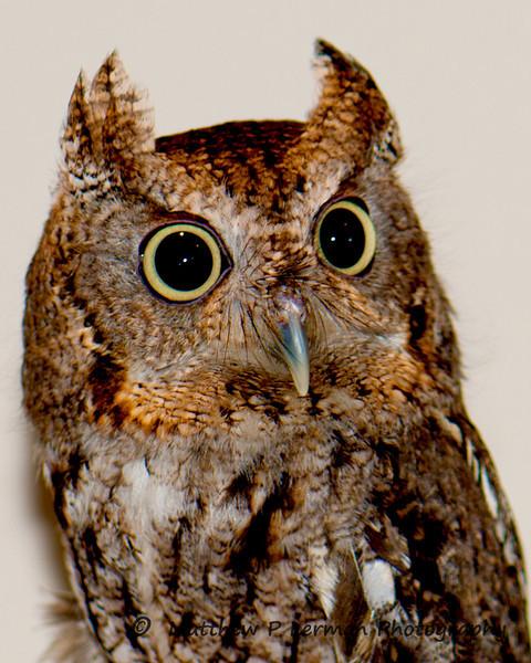 585 Screech Owl LR.jpg