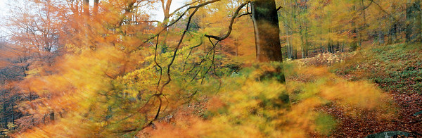 A beech tree (Fagus sylvatica.) is  dancing in  the autumn wind. Raeren near Eupen, Ardennes, Belgium, Europe