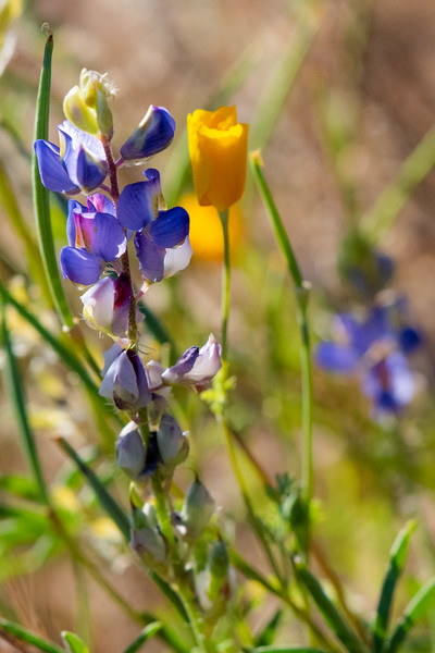 Lupine and Mexican gold poppy