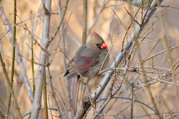 248 Cardinalidae - Cardinals, Grosbeaks & Allies