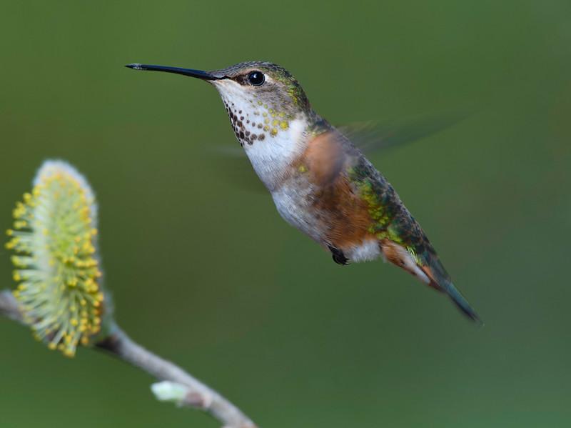 Rufous Hummmingbird