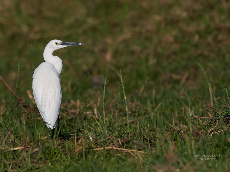 Little Egret, Chobe River, NAM, Oct 2016-1.jpg