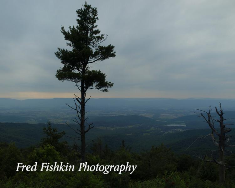 skyline pine.jpg