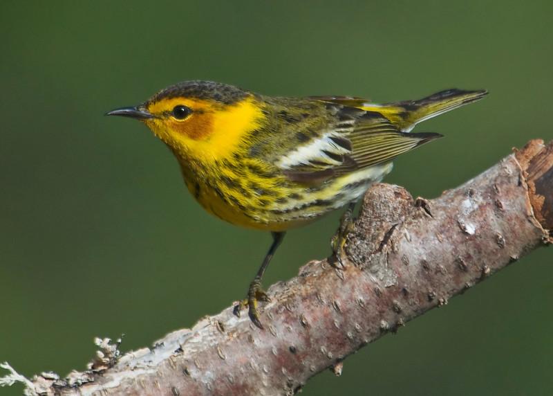 Warbler - Cape May - Dunning Lake, MN