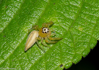 Araignees de Guyane francaise, Spiders of French Guiana