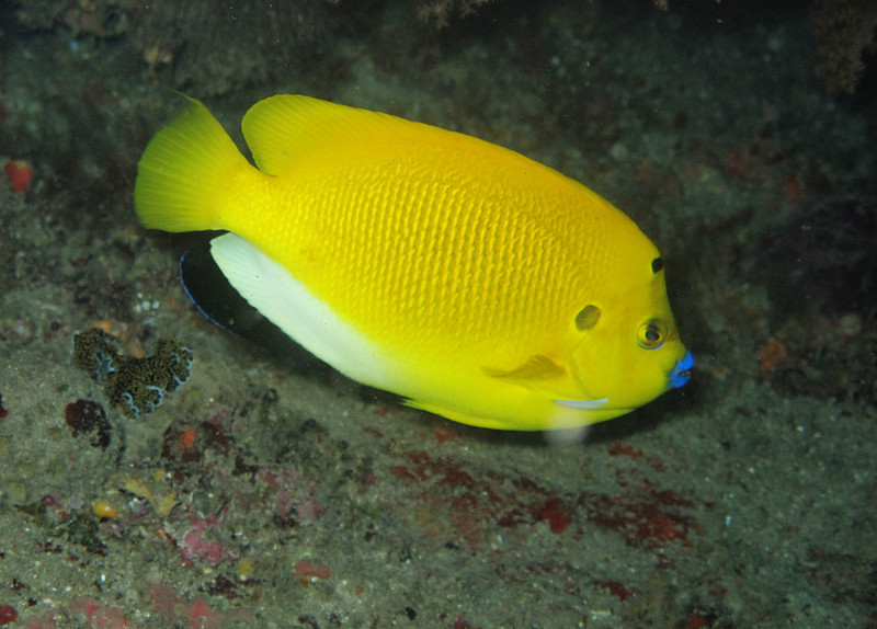 IMG_7652Ar_Thrrspot Angelfish (Apolemichthys trimaculatus).JPG