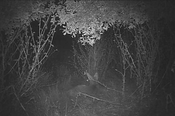 Coyote4.AVI