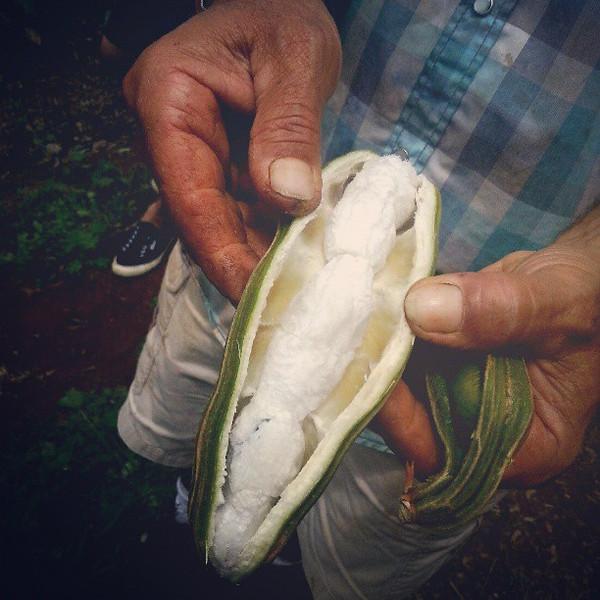 Garry_at_Kupa_a_Farms_shows_me_the_Guatemalan_ice_cream_bean._Each_piece_tastes_like_creamy_vanilla..jpg