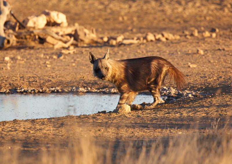 043 Brown Hyena - 4879.jpg