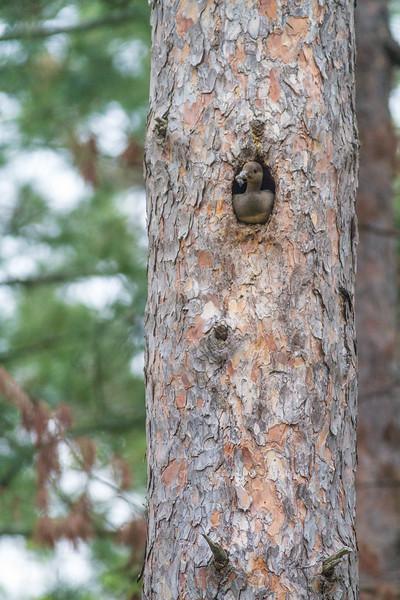 Hooded Merganser female nest old Pileated hole Echo Trail Ely MNIMG_0177.jpg