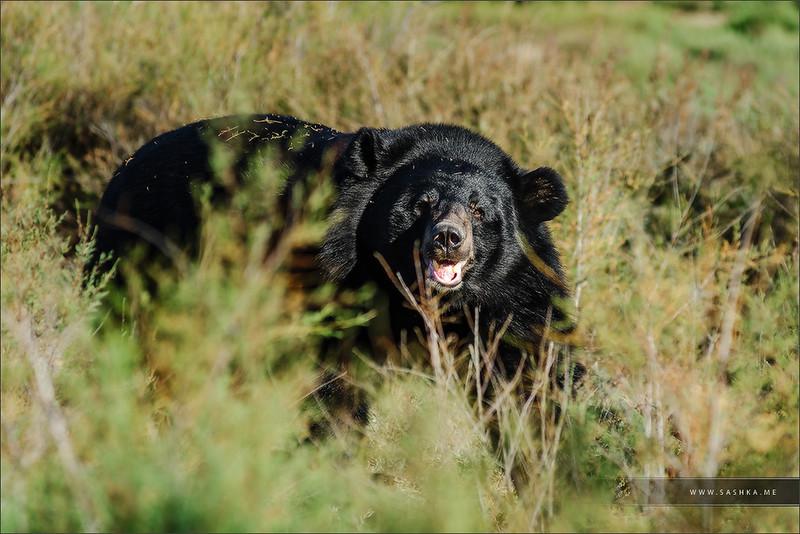 American black bear in safari park Sigean