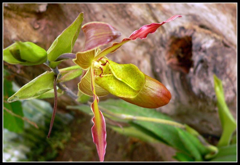 06FR35 Martel Orchidee Vincent 112.jpg