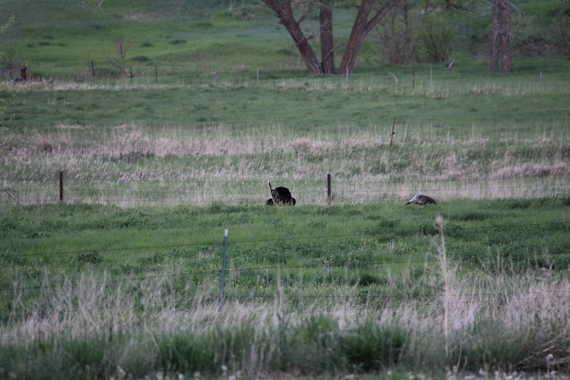 20140523-182-TriangleRanchBB-WildTurkey.JPG