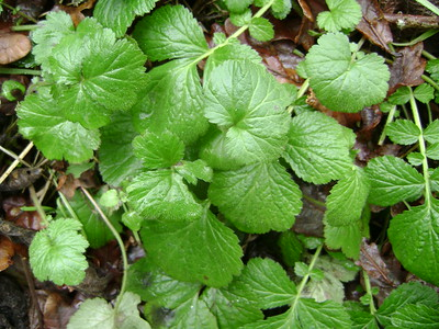 Wood Avens, Herb-Bennet (Geum urbanum)