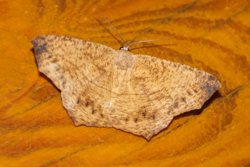 Spanworm-Large Maple-(Prochoerodes lineola)-Dunning Lake-Itasca County, MN