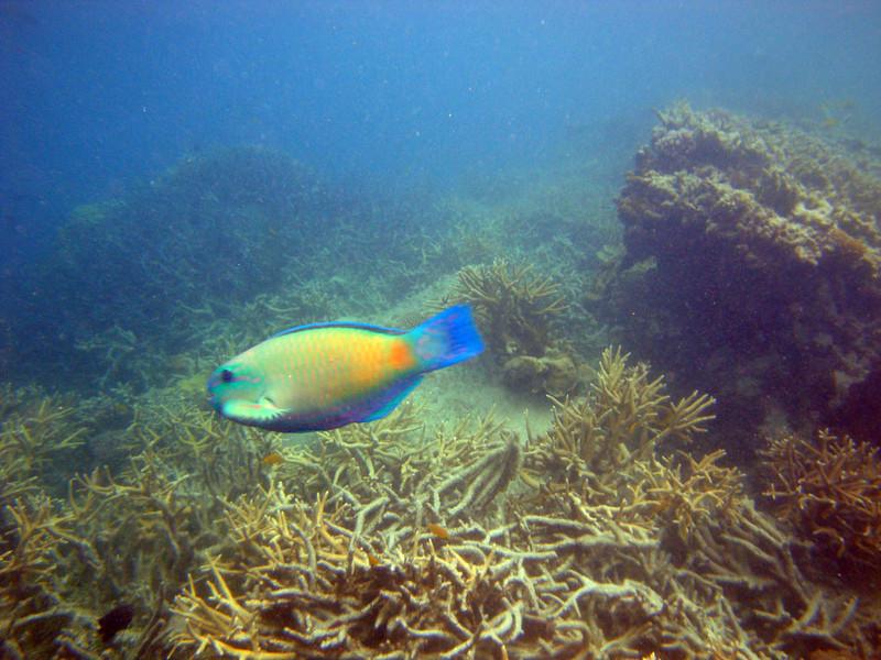 Fish blue-tailed.jpg