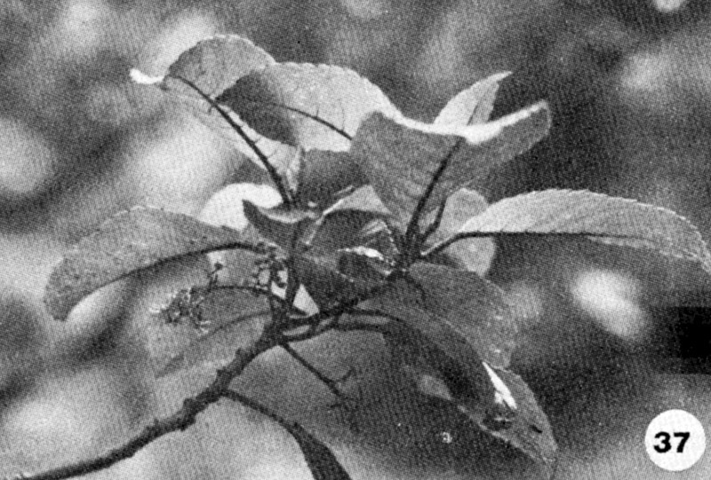 37. Perrottetia sandwicensis Image from the Kaala Bog Plant Guide: Kaala Natural Area Reserve, Mt. Kaala, Oahu, a 1992 publication of the State of Hawaii (DLNR/DOFAW) .