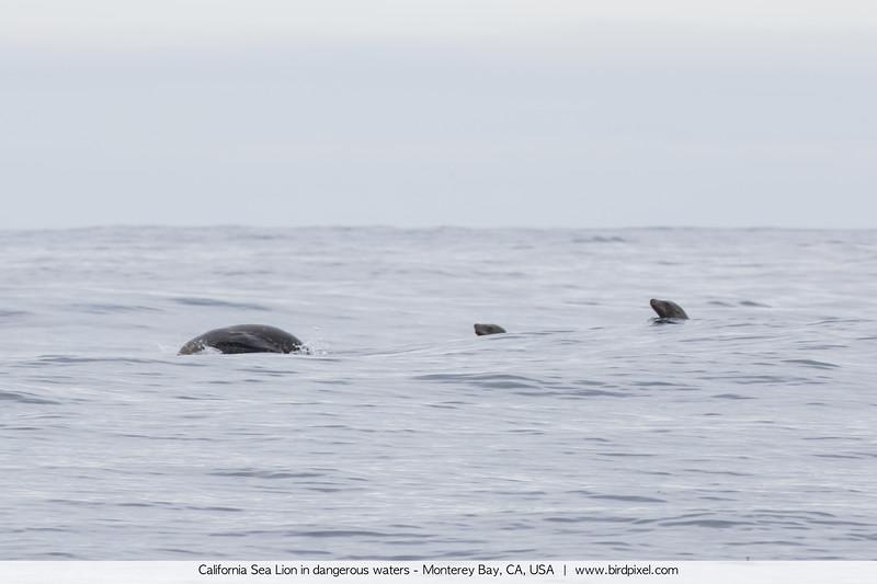 California Sea Lion in dangerous waters - Monterey Bay, CA, USA