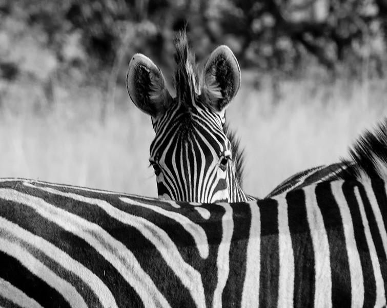 Zebra-25.jpg