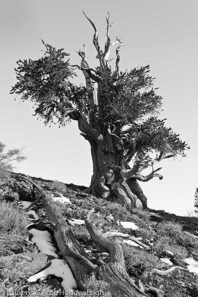 Bristlecone Forest, CA