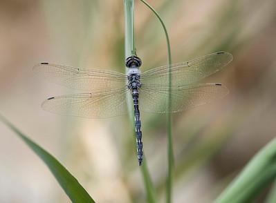 Zygonyx torridus