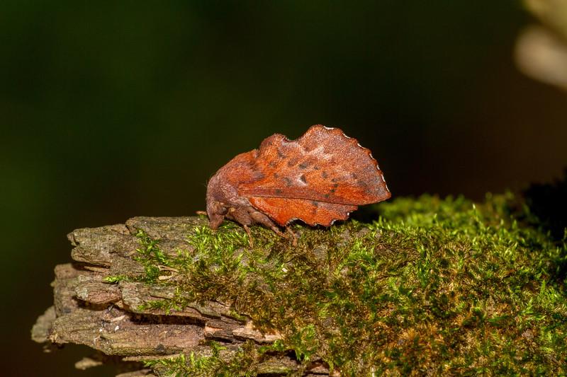 Phyllodesma americana American Lappet Moth 7687 Family Lasiocampidae Skogstjarna Carlton County MN  IMG_0747.jpg