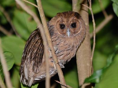 Caribbean Owls