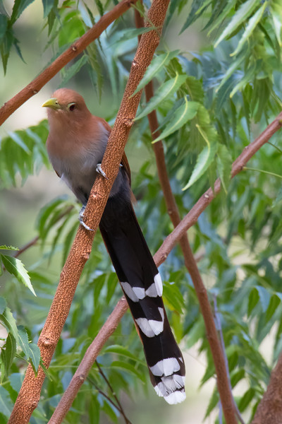 Squirrel Cuckoo.jpg
