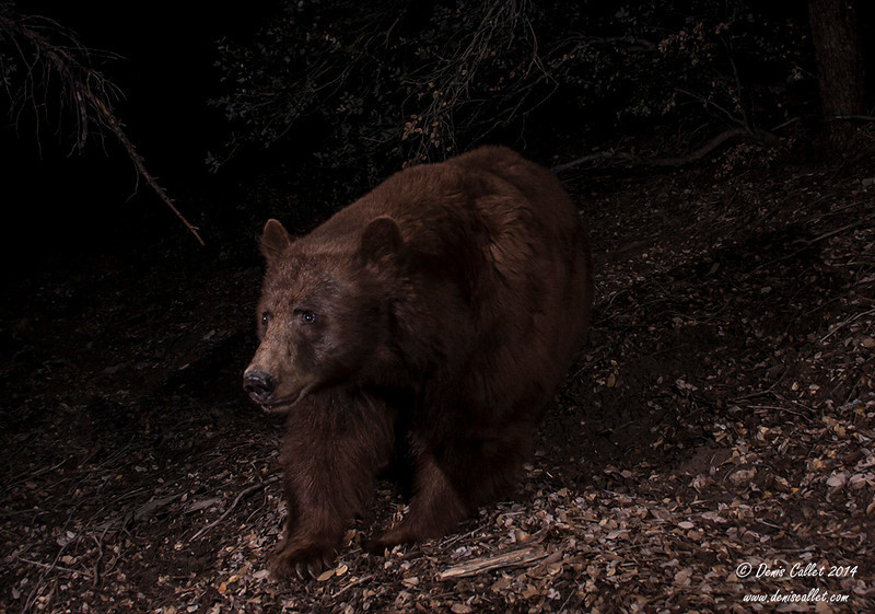 Black Bear (ursus)