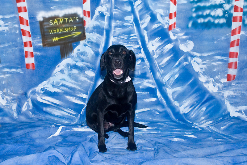 Abby, a black Labrador Retriever, poses for her Christmas photo.  She is owned and very much loved by Paula Burke.