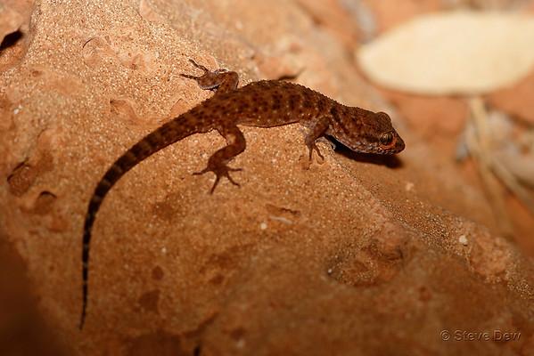 Bynoe's Gecko