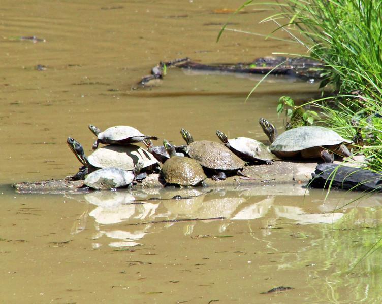 Eight turtles
