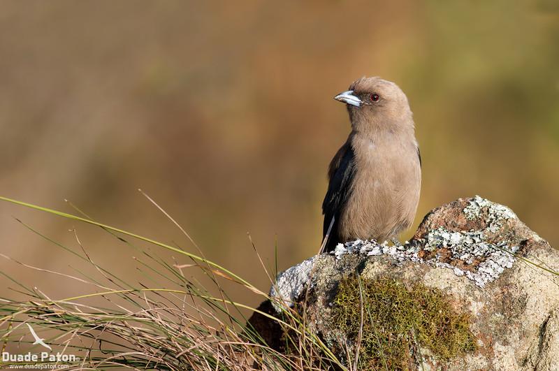547-Dusky-Woodswallow-West-Nowra,-NSW-20-1-13.jpg
