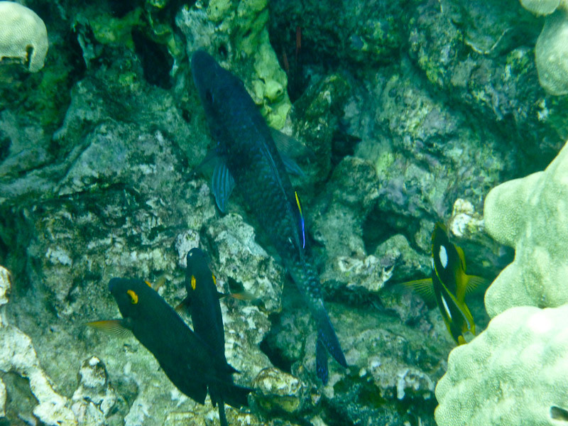 Goldring Surgeons, Parrotfish, Cleaner Wrasse, etc