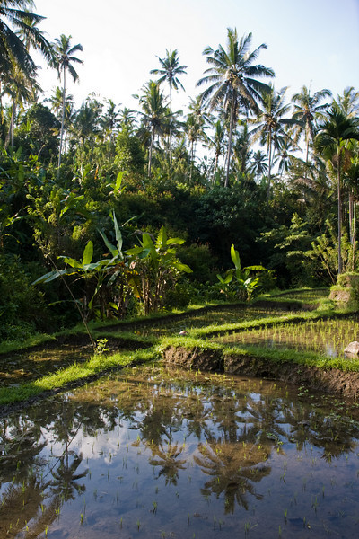 Rice field near Ubud
