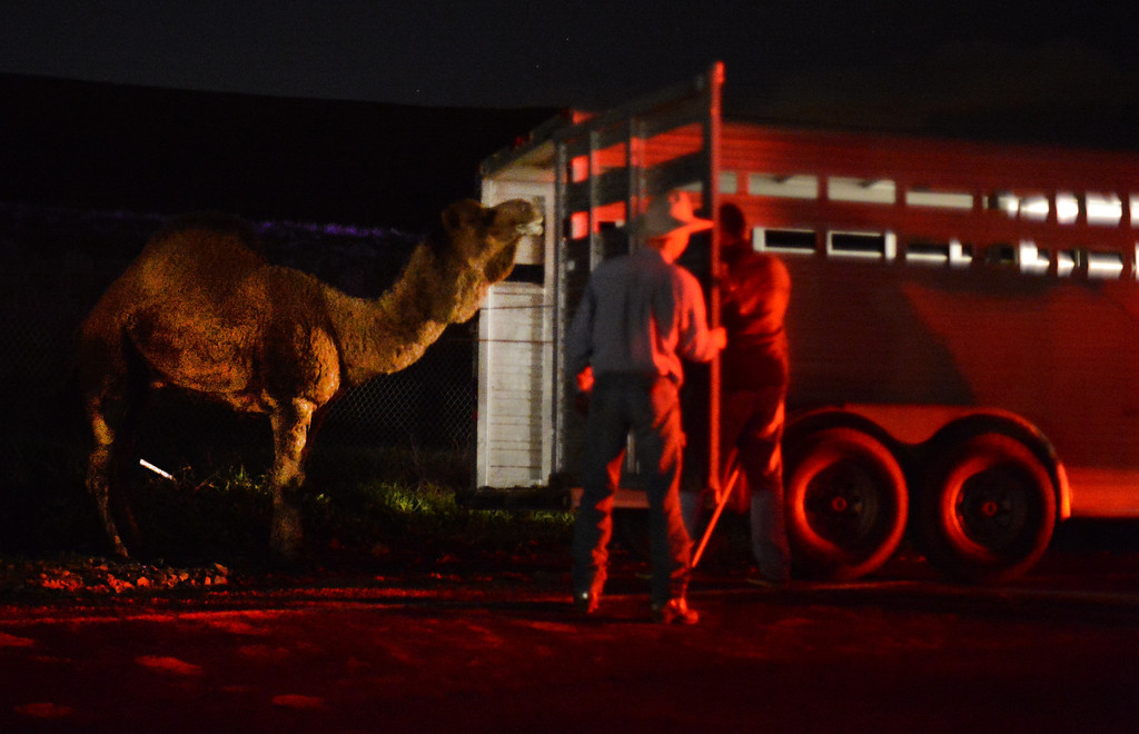 """. A ranch hand calling out \""""come on, dude\"""" tries to coax a camel into a trailer along Bailey Road in Concord, Calif., on Tuesday, Feb. 5, 2013. The camel named \""""Phil\"""" belongs at DB Inc. Land & Cattle Co. along Bailey Road according to manager Raymond Ferrante. The camel got out twice on Tuesday. (Susan Tripp Pollard/Staff)"""