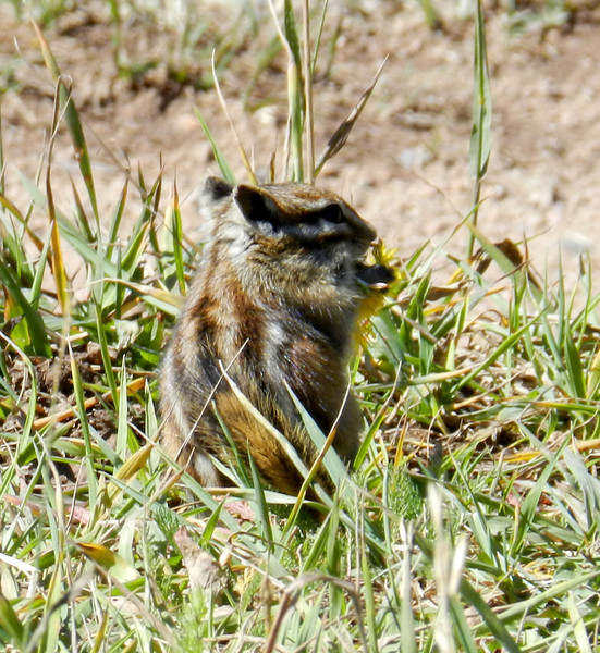 Haviland Lake chipmunk eating.jpg